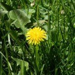 Dandelions, gifts from God